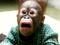 نوزاد اورانگوتان بامزه