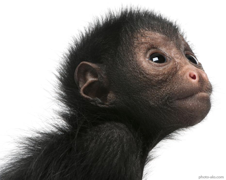 جفت گیری شامپانزه میمون عنکبوتی spider monkey