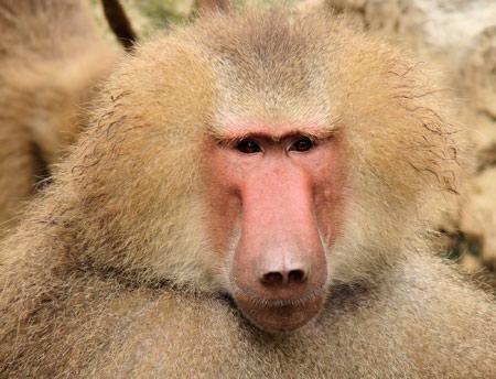 عنتر دم کوتاه یا بابون baboon image