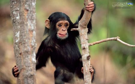 عکس بچه شامپانزه بانمک baby shimpanze picture