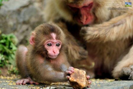عکس بچه میمون یک ماهه monky baby picture