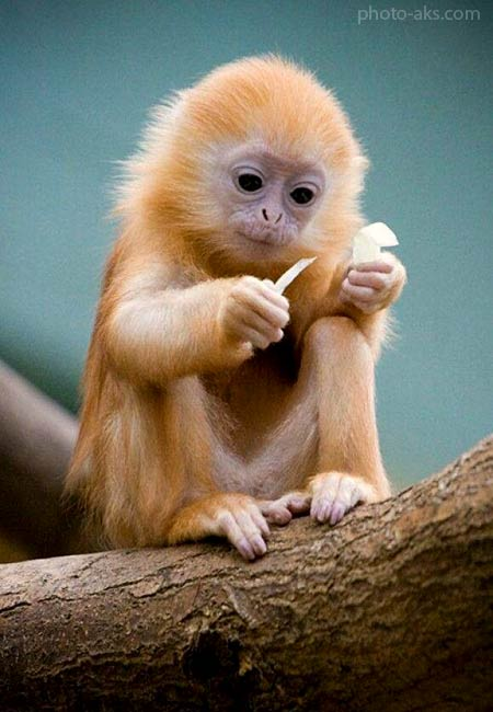 عکس میمون طلایی بامزه beautiful golden monkey