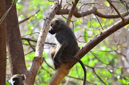 عکس میمون روی شاخه درخت monkey branch sitting