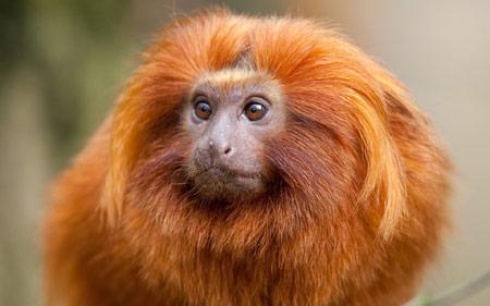 عکس زیبا میمون پر مو طلایی monkey face fluffy kind