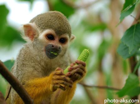 میمون در حال غذا خوردن monkey eating