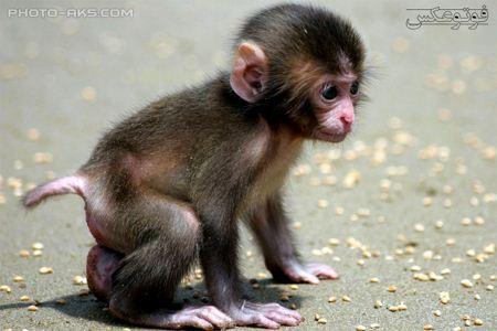 بچه میمون خیلی کوچولو monkey baby