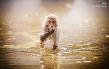 عکس میمون بامزه داخل آب monky in watter