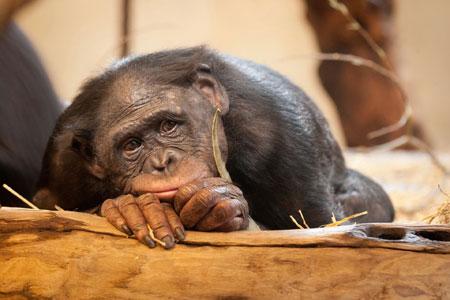 عکس میمون غمگین ناراحت sad monkey