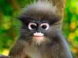 میمون عینکی داسکی