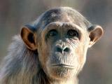 عکس چهره شبیه به انسان میمونها