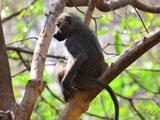 عکس میمون روی شاخه درخت