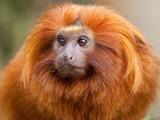 عکس زیبا میمون پر مو طلایی