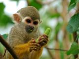 میمون در حال غذا خوردن