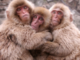 عکس میمون های بامزه