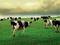 عکس گاو در چمنزار
