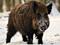 گراز وحشی در زمستان