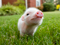بچه خوک کوچولو و بامزه