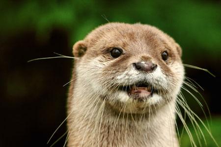 عکس صورت سمور آبی  otters animals face