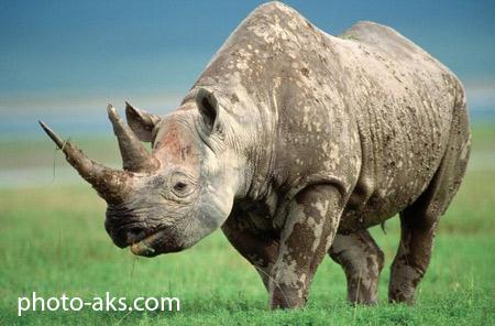 عکس کرگدن در حیات وحش rhinoceros animal