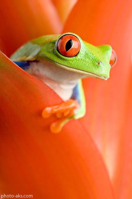 پوستر قورباغه سبز frog wallpapers