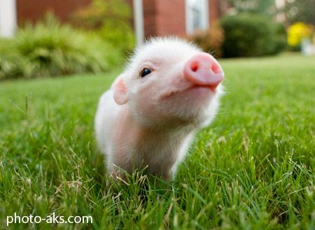 بچه خوک کوچولو و بامزه funny piglet