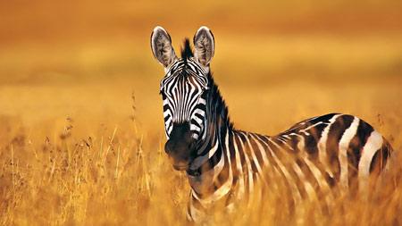 عکس گوره خر در طبیعت zebra wallpaper