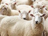 عکس دسته جمعی گوسفند ها