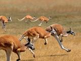عکس دویدن کانگروها