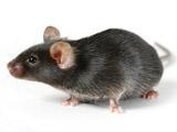 عکس موش سیاه