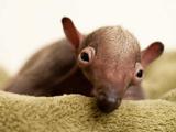 عکس بچه مورچه خوار