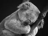 خواب شیرین خرس کوالا