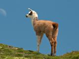 عکس بچه شتر لاما در کوهستان
