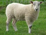 عکس گوسفند سفید
