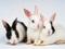 عکس خرگوش های  گوش دراز