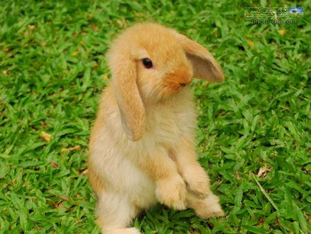عکس خرگوش بامزه طلائی aks khargosh talayi
