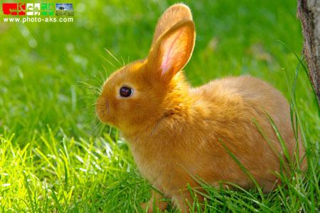 خرگوش حنائی بامزه khargosh hanayi