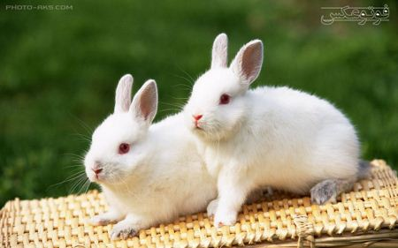 عکس دو خرگوش سفید two white rabbit