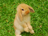 عکس خرگوش بامزه طلائی