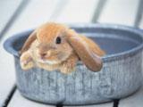 عکس بچه خرگوش ناز