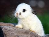 خرگوش خال دار سفید