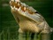 والپیپر جالب و زیبا از تمساح