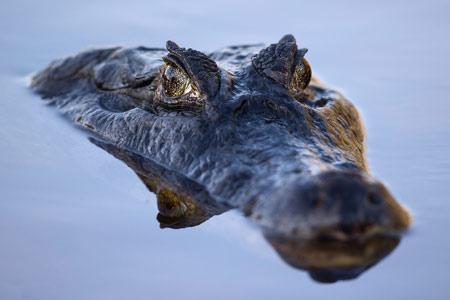 عکس کرکدیل در سطح آب crocodile under water
