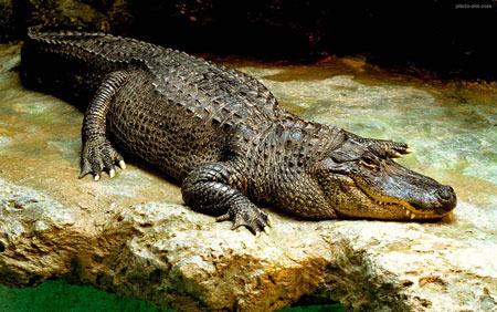 عکس تمساح بزرگ خطرناک temsah bozorg
