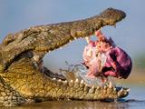 آرواره های تمساح در حال خوردن گوشت