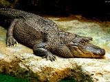 عکس تمساح بزرگ خطرناک