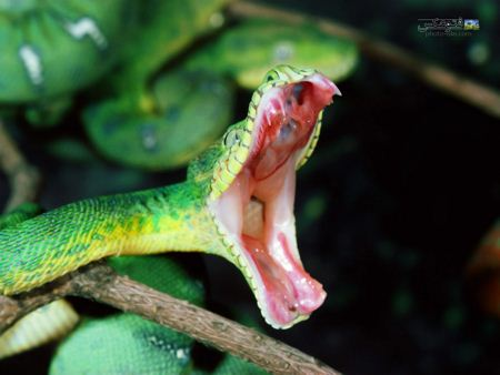 عکس لحظه حمله مار سمی green snake attack