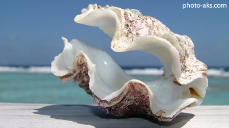 صدف بزرگ مرواریدی big shell beach