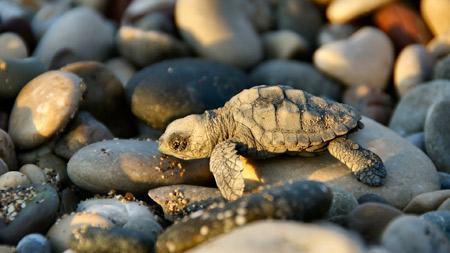 عکس بچه لاکپشت در ساحل turtle baby beach