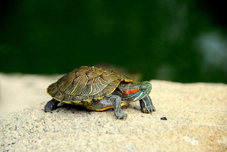 عکس لاک پشت کوچولو turtle shell legs head