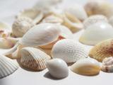 عکس صدف های سفید ساحلی